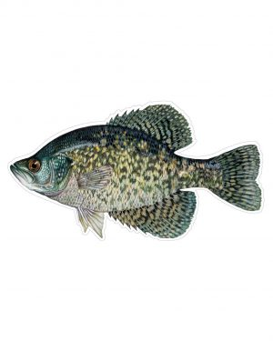 "Black Crappie Fish Magnet or Sticker for Indoor or Outdoor Use 8"" x 4"""