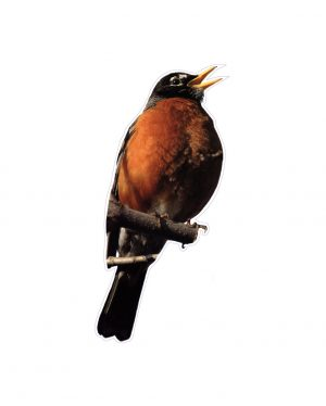 "Robin Magnet or Sticker for Indoor or Outdoor Use 7"" x 4"""