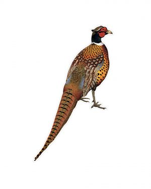 """Pheasant Magnet or Sticker for Indoor or Outdoor Use 8.5"""" x 5"""""""