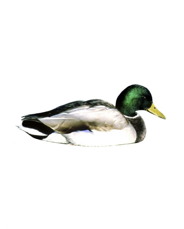 """Mallard Magnet or Sticker for Indoor or Outdoor Use 8.5"""" x 3.5"""""""