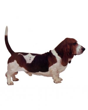 "Basset Hound Magnet or Sticker for Indoor or Outdoor Use 7"" x 5"""