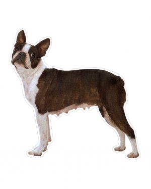 "Boston Terrier Magnet or Sticker for Indoor or Outdoor Use 5.5"" x 5.5"""
