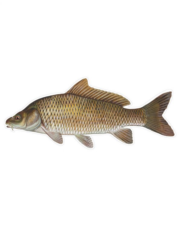 """Carp Magnet or Sticker for Indoor or Outdoor Use 9"""" x 4"""""""