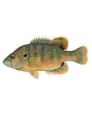 "Green Sunfish Magnet or Sticker for Indoor or Outdoor Use 8"" x 4"""