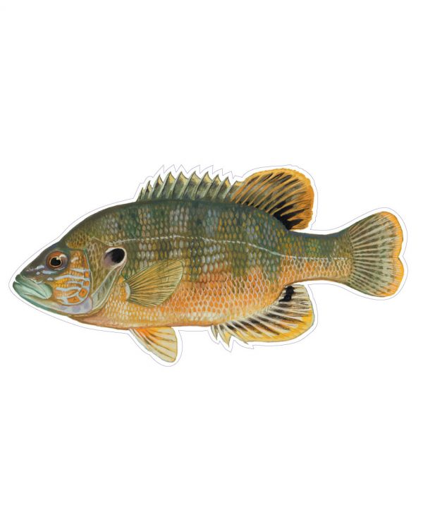 """Green Sunfish Magnet or Sticker for Indoor or Outdoor Use 8"""" x 4"""""""