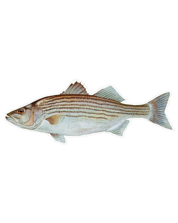 """Striped Bass Magnet or Sticker for Indoor or Outdoor Use 9"""" x 3.5"""""""