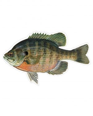 "Bluegill Sunfish Magnet or Sticker for Indoor or Outdoor Use 8"" x 4"""