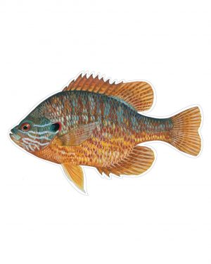 "Pumpkinseed Magnet or Sticker for Indoor or Outdoor Use 7"" x 4.5"""