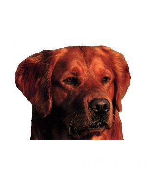 """Brown Retriever Magnet or Sticker for Indoor or Outdoor Use 5"""" x 4"""""""